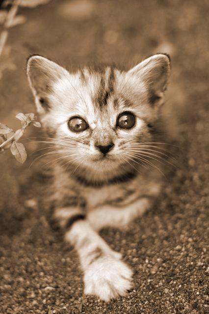 猫を飼うならオスにするかメスにするか