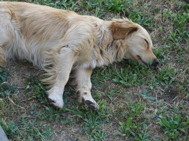 老犬との暮らし