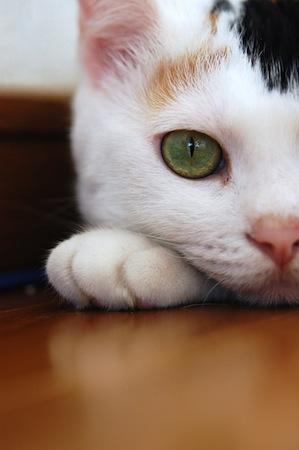 ネコがかかりやすい病気【黄色脂肪症】