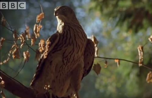 【動画】鷹の目線。