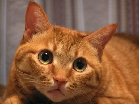 ネコがかかりやすい病気【ネコ白血病ウイルス感染症】