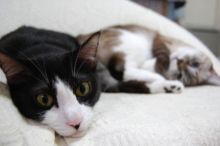 ネコがかかりやすい病気【ネコ免疫不全ウィルス感染症】