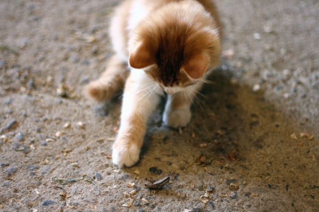 【猫】獲物を見つけたとき頭やしっぽを振るのはナゼ?