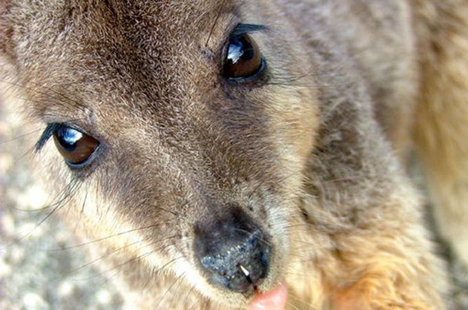 ワラビーをこれから飼う人必見!ワラビーの飼い方や寿命、特徴から学ぶエサやりお世話ポイント