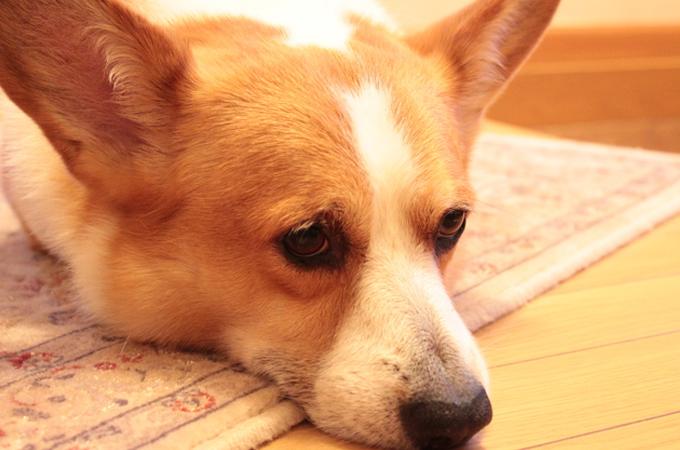 愛犬が吐いてしまう5つの原因と知っておくと安心の対応とその予防