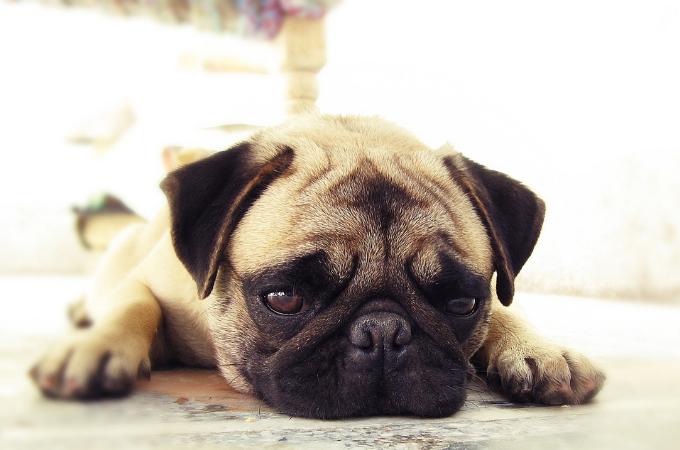 愛犬が飼い主さんにあごを乗せてリラックスする理由