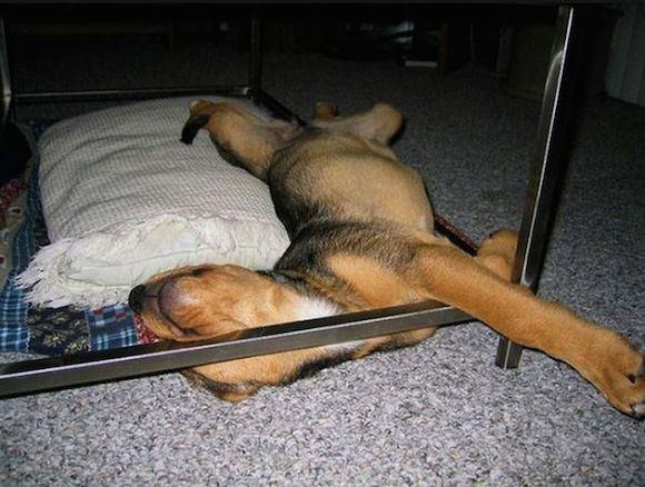 寝顔・寝相が悪い犬12