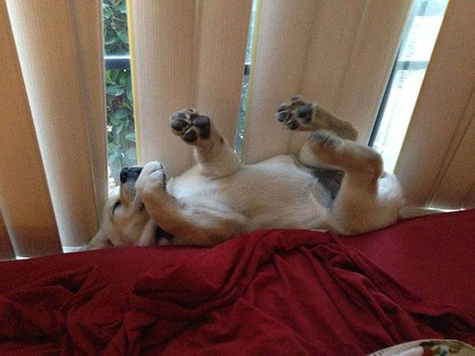 寝顔・寝相が悪い犬2
