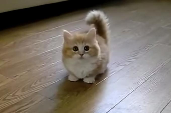 飼い主さんと猫じゃらしで遊びたい子猫!その動きにまったくついていけない姿にほっこり笑い