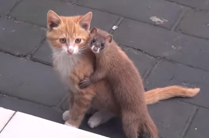 片思い?それとも両思い?子猫とイタチの愛の物語!ほのぼの癒しの動画