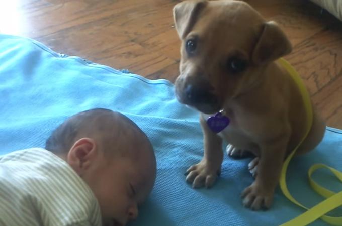 可愛い弟(赤ちゃん)を守れるのはボクしかいない!睡魔に立ち向かう勇敢な子犬の姿にホッコリ
