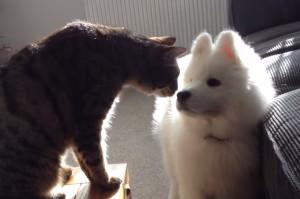 友達になりたい…サモエドの子犬から先住猫への健気なアピールが実ったその瞬間