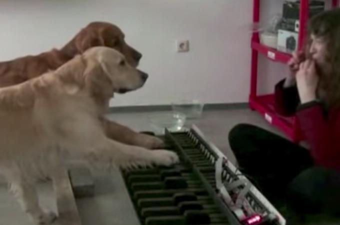 こんな賢い犬見たことがない!ピアノの連弾を披露するゴールデンレトリバーにビックリ