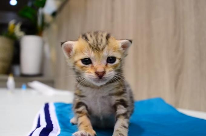 睡魔と戦う勇敢な1匹の子猫。フラフラになりながら頑張る姿が可愛すぎる