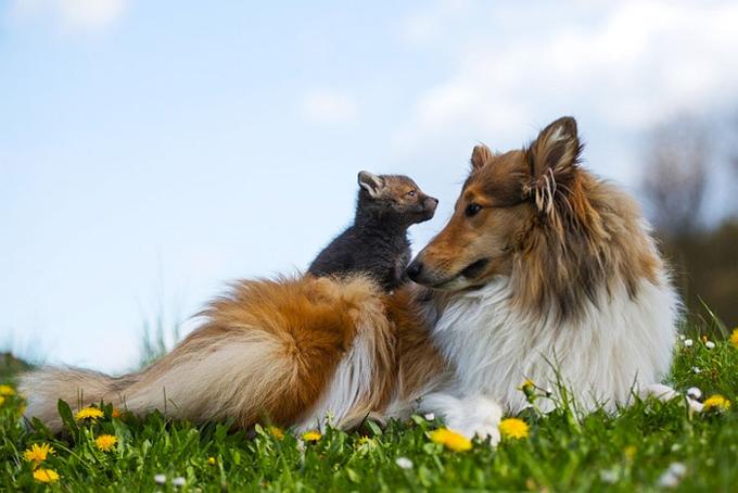 事故で親を亡くした子ギツネを育てたのはコリー犬!種を超えた絆に感動