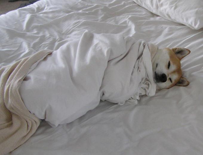 ベッド寝る犬たち18