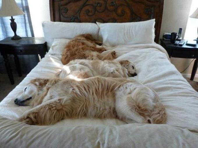 ベッド寝る犬たち12