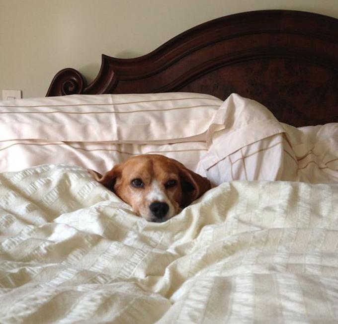 ベッド寝る犬たち15