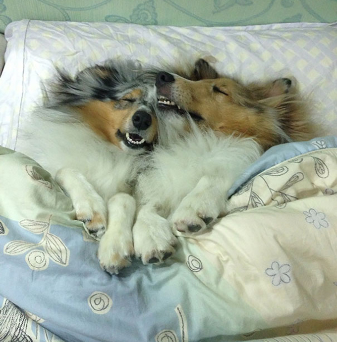 ベッド寝る犬たち9