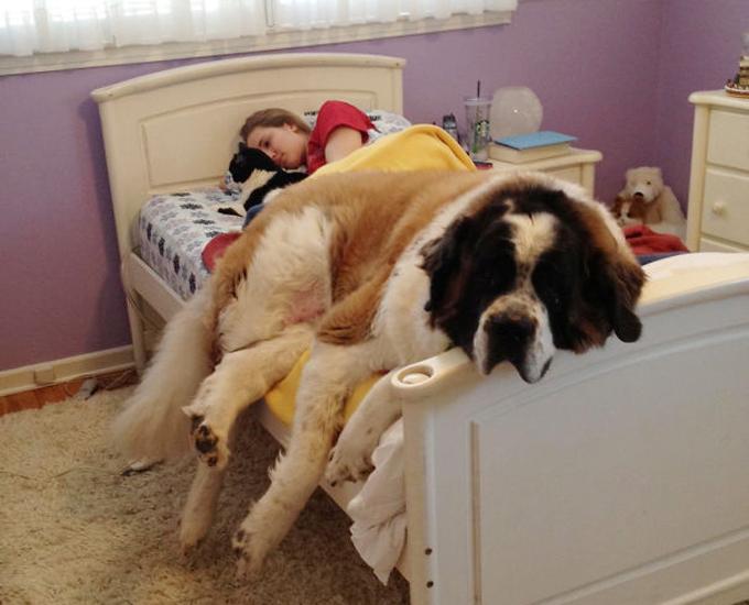 ベッド寝る犬たち11