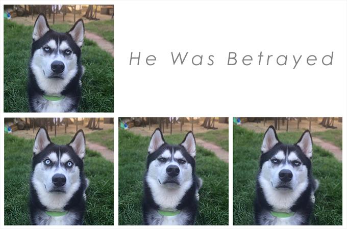 飼い主さんをにらみつけるシベリアンハスキーが本当は飼い主さん想いだった