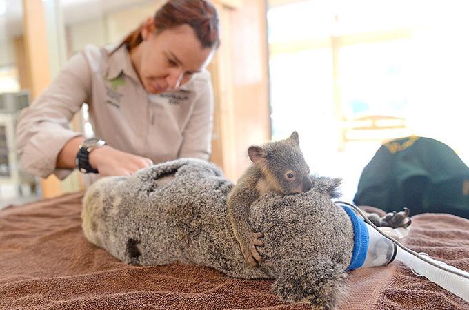 交通事故に遭い生死の境をさまよう母を支え続けたのは赤ちゃんコアラ