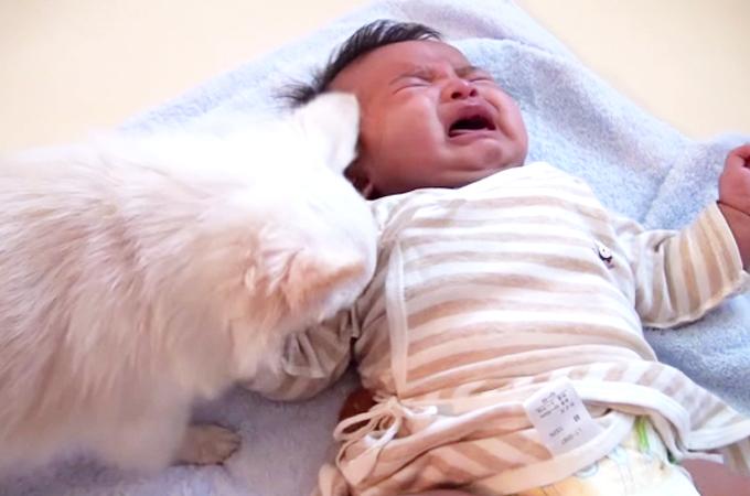 「泣いちゃダメだよ」と赤ちゃんに自分のおやつをあげる優しいチワワ