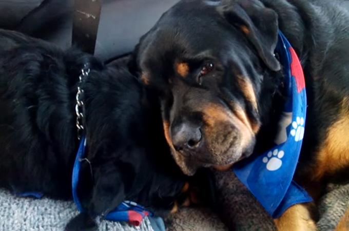 最愛の兄弟犬を亡くした1匹の犬の悲しみの表情に思わず涙する