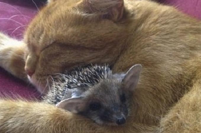 母を亡くしたハリネズミの赤ちゃんたちを我が子のように愛する猫が素敵