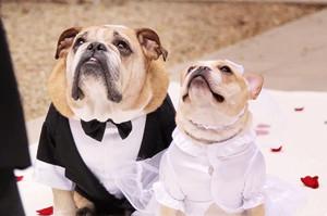 一生に一度の最高の記念日!愛を誓い合う犬たちの結婚式がトレンドに