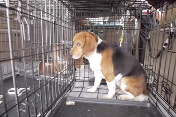 研究所のケージの中だけで一生を過ごしてきた9匹のビーグル犬たち