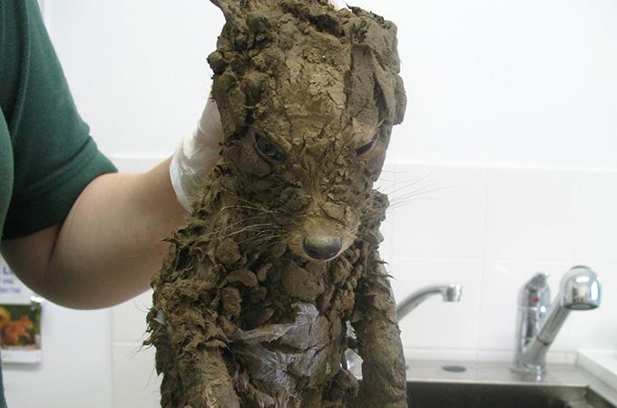 頭からつま先まで乾燥した泥の分厚い層で覆われてしまったキツネ