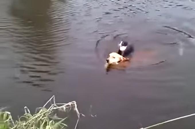 川で溺れた猫を背中に乗せて命を救った1匹の犬の勇敢な姿