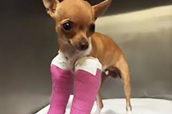 ゴミ箱の中から両前脚を骨折した子犬のチワワが発見される