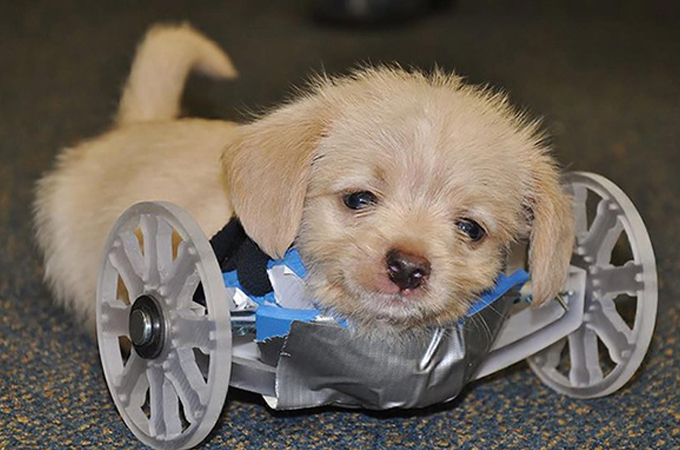前足を持たずに生まれてきた子犬を救うためのプロジェクトに感動
