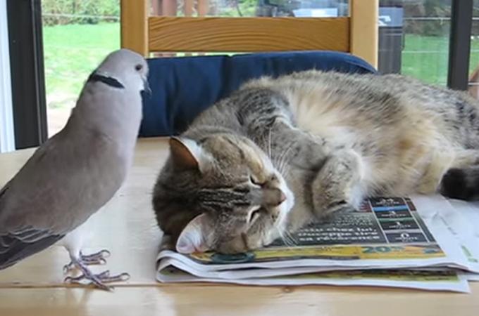 一緒に遊びたすぎて必死に猫のお昼寝の邪魔をする迷惑な鳩