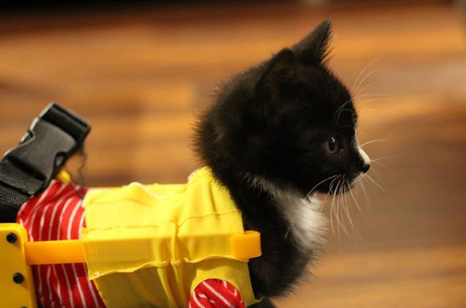 保護された足の不自由な子猫が元気に走れるように車椅子が取り付けられる
