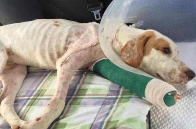 虐待を受け捨てられ、さらには車にはねられた犬が奇跡の回復