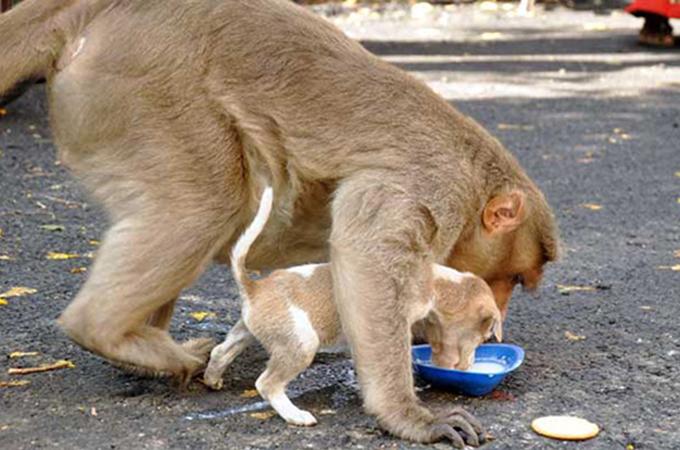 子犬を保護し、まるで我が子のように育てるアカゲザルが見つかる