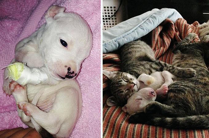 産後、母犬に足を食べられてしまった子犬を猫が救いだす