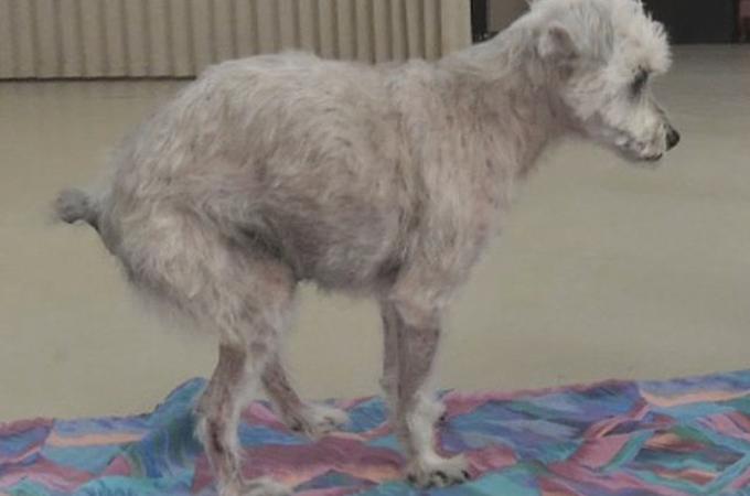 虐待により二度と歩けないと言われた犬が再び自分の足で歩き出す