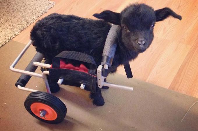 足に障害を持って生まれ凍傷によって足を失った子ヤギが輝くまで