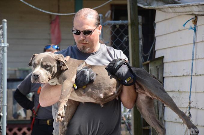 闘犬(ドッグファイト)として飼育されていた64匹の犬が救い出される