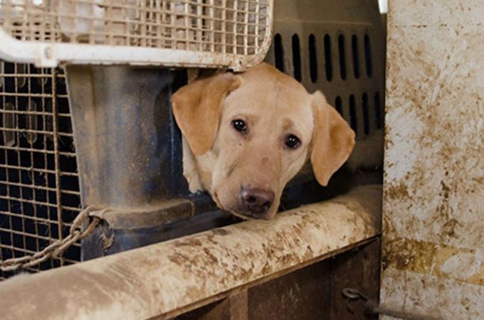 食べ物も水もないパピーミルから救われたのは48匹のラブラドール