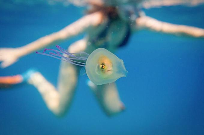 クラゲの中に閉じ込められた魚がクラゲを自由に乗りこなす画像が話題に