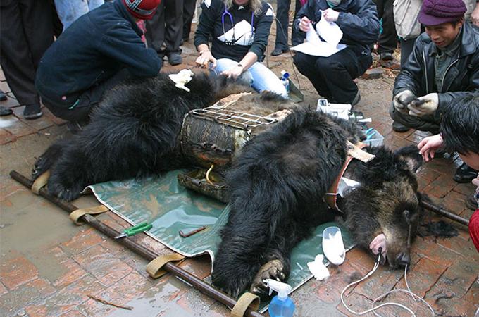 中国の熊農場で何年間も虐待的に胆汁を採取され続けたクマの悲惨な姿