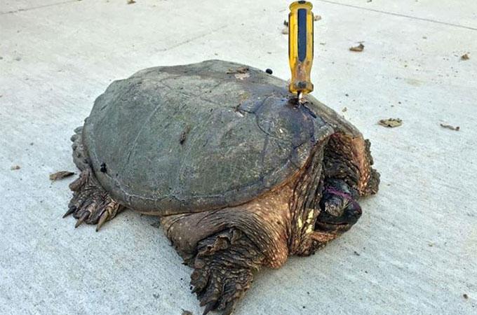 ドライバーを突き刺されると言う想像を絶する残酷な虐待を受けた亀