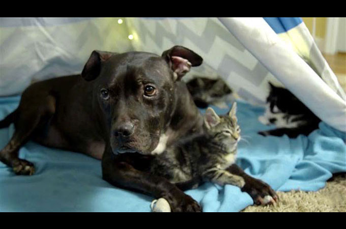 闘犬と言う動物虐待の場から救出された犬は今子猫を抱きしめる