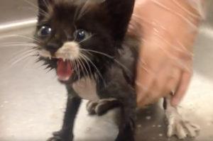 車の下にいたところを保護された子猫。大きな声で元気よく鳴く姿とその後の暮らし