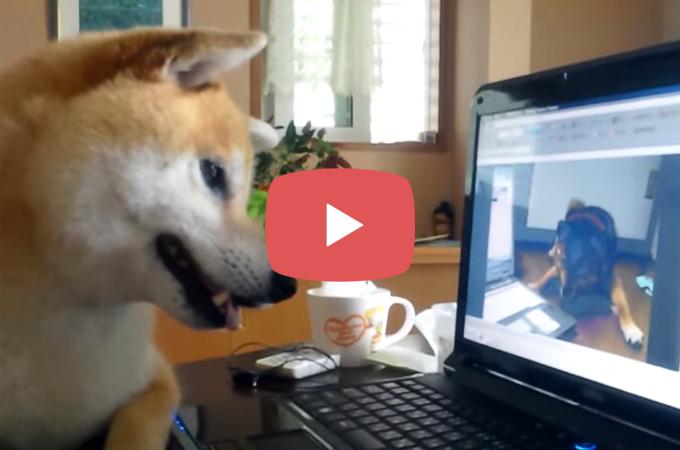 【動画】パソコンから聞こえるワンコの声に反応し、辺りを捜索する柴犬